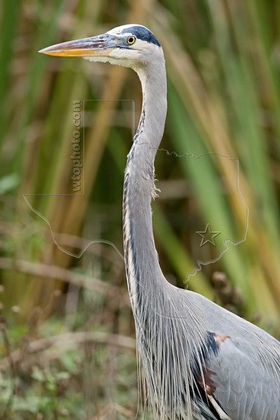 Great Blue Heron<br /> Brazos Bend State Park, Texas