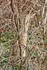 American Bittern, Hiding,<br /> Brazos Bend State Park, Texas
