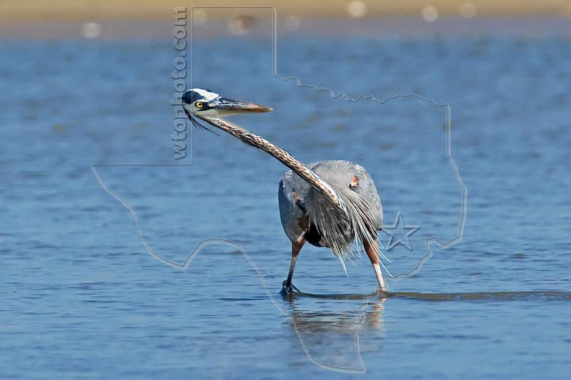 Great Blue Heron, Hunting,<br /> East Beach, Galveston, Texas