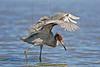 Reddish Egret, Hunting,<br /> San Louis Pass, Texas