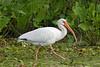 White Ibis,<br /> Brazos Bend State Park, Texas