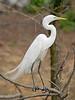 White Egret,<br /> Smith Woods, High Island, Texas
