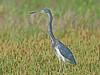 Tricolored Heron,<br /> Bolivar Flats, Texas