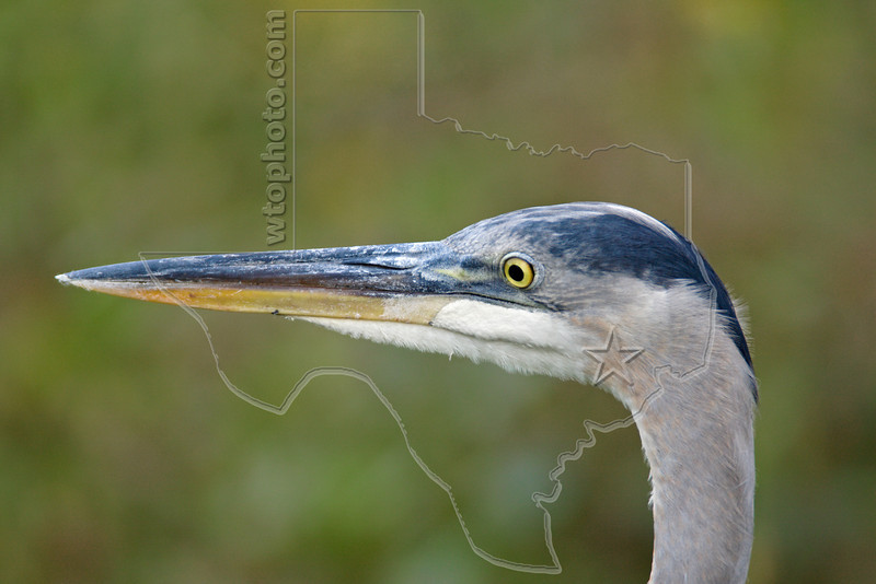 Great Blue Heron, Portrait,<br /> Brazos Bend State Park, Texas