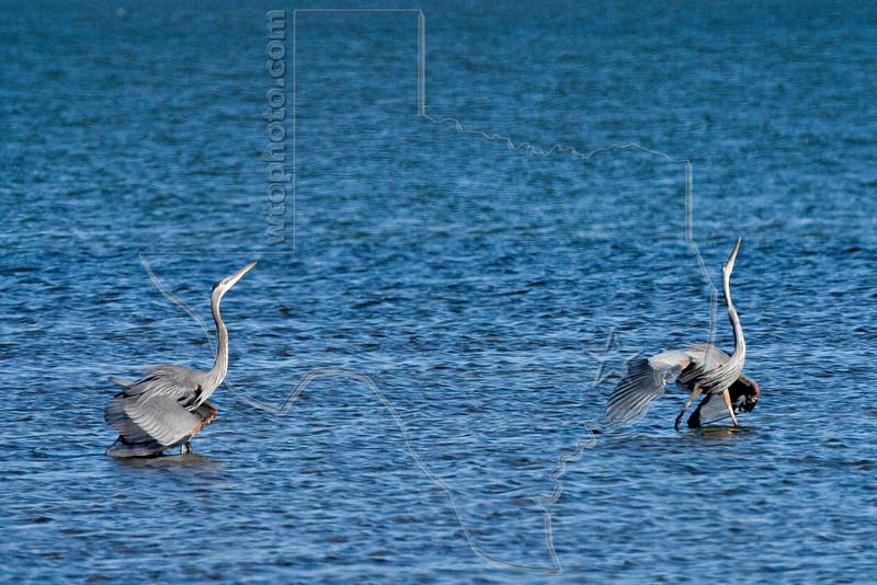 Great Blue Herons, Territorial Dispute,<br /> St. Charles Bay, Texas
