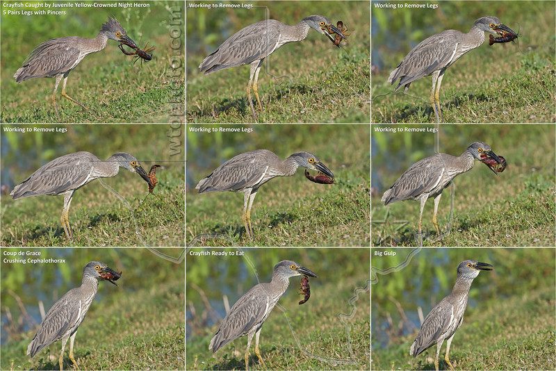Yellow-Crowned Night Heron, Juvenile,<br /> Eating Crayfish Sequence, Removes All Legs/Pincers<br /> Brazos Bend State Park, Texas