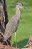 Yellow-crowned Night Heron, Juvenile,<br /> Brazos Bend State Park, Texas