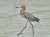 Reddish Egret,<br /> Bolivar Flats, Texas