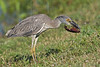 Yellow-Crowned Night Heron, Juvenile,<br /> Eating Crayfish,<br /> Brazos Bend State Park, Texas