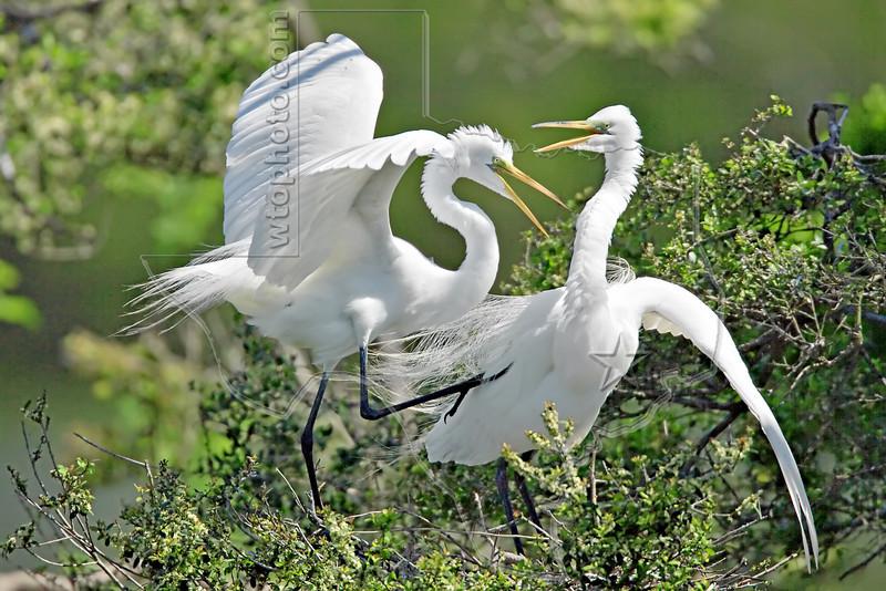 White Egrets, Mating Behavior,<br /> Smith Woods, High Island, Texas