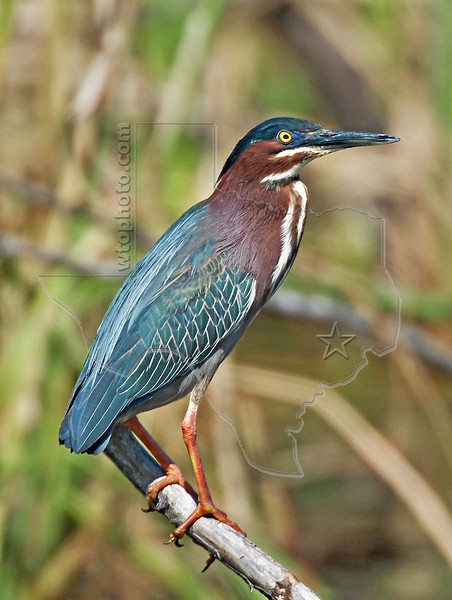 Green Heron,<br /> Anahuac National Wildlife Refuge, Texas