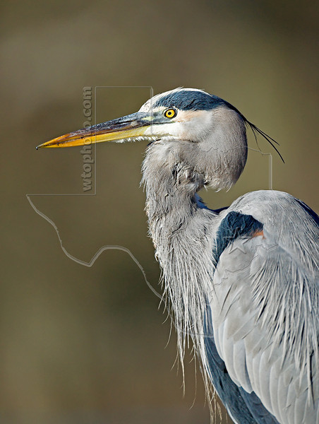 Great Blue Heron Portrait,<br /> Brazos Bend State Park, Texas