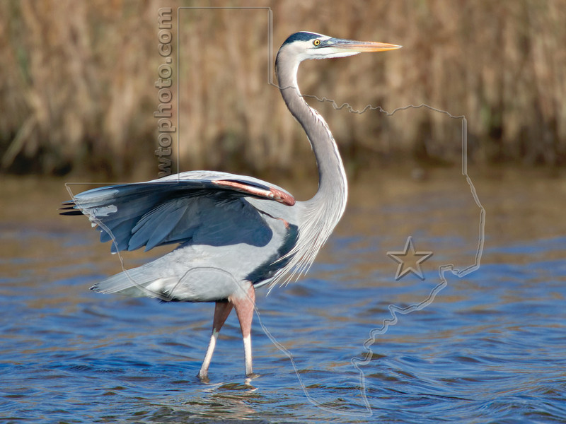 Great Blue Heron,<br /> East Beach, Galveston, Texas