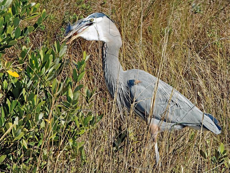 Great Blue Heron, Eating Flounder,<br /> East Beach, Galveston, Texas