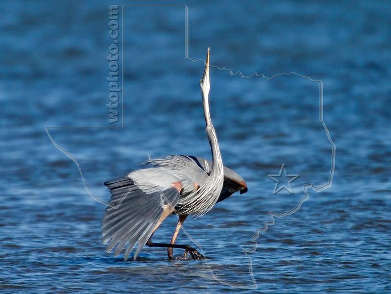 Great Blue Heron, Threat Posture,<br /> St. Charles Bay, Texas