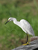 Snowy Egret,<br /> Anahuac National Wildlife Refuge, Texas