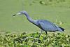 Little Blue Heron,<br /> Brazos Bend State Park, Texas