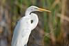 White Egret,<br /> San Bernard National Wildlife Refuge, Texas