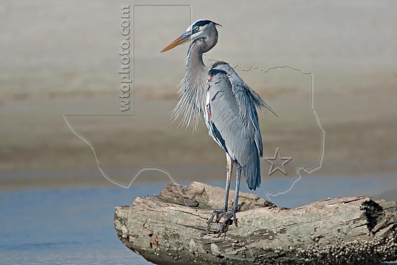 Great Blue Heron, <br /> East Beach, Galveston, Texas