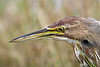 American Bittern,<br /> Brazoria National Wildlife Refuge, Texas