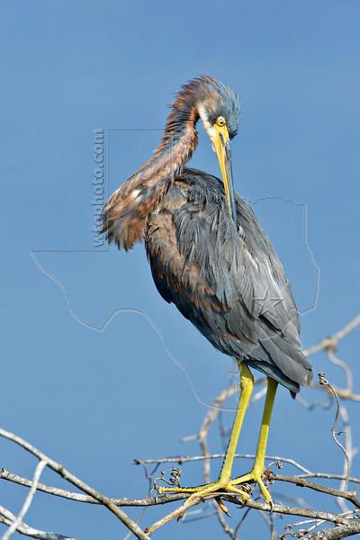 Tricolored Heron,<br /> San Bernard National Wildlife Refuge, Texas