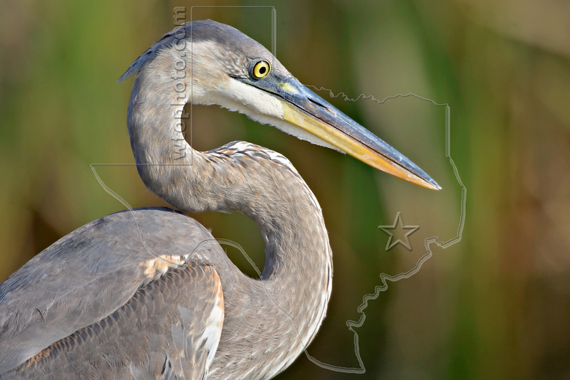 Great Blue Heron, Juvenile,<br /> San Bernard National Wildlife Refuge, Texas