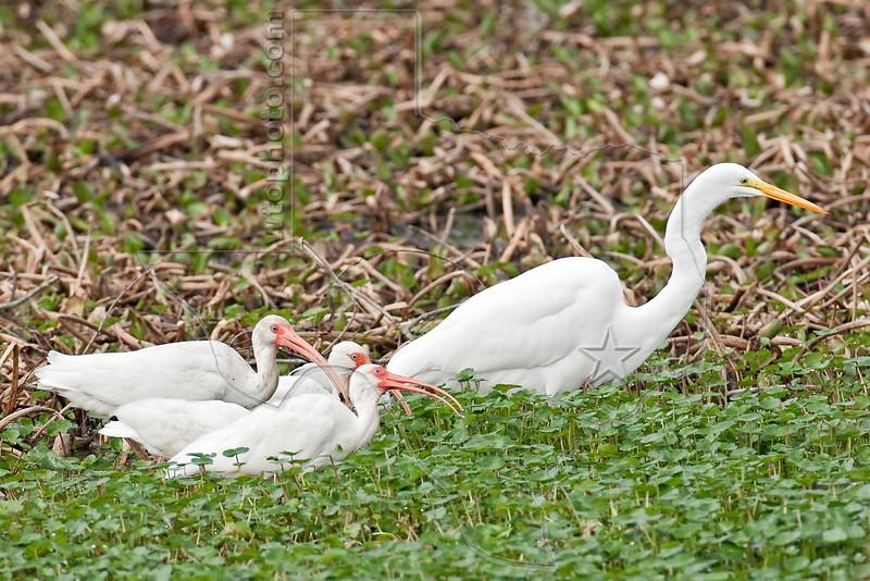 White Ibis and White Egret,<br /> Brazos Bend State Park, Texas