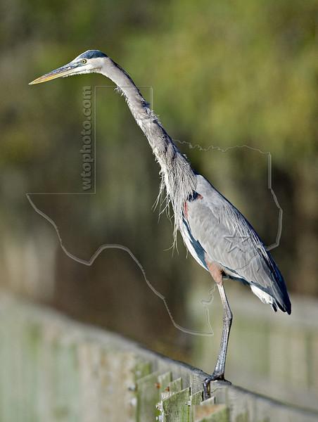 Great Blue Heron Spots Western Lesser Siren in Stream,<br /> Brazos Bend State Park, Texas