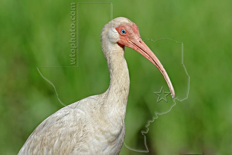 White Ibis,<br /> Bolivar Flats, Texas