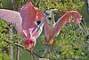 Roseate Spoonbills, Mating Behavior,<br /> Smith Woods, High Island, Texas