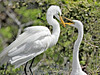 White Egrets, Nest Building,<br /> Smith Woods, High Island, Texas