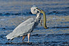 Great Blue Heron Prepares to Swallow Western Lesser Siren,<br /> Brazos Bend State Park, Texas