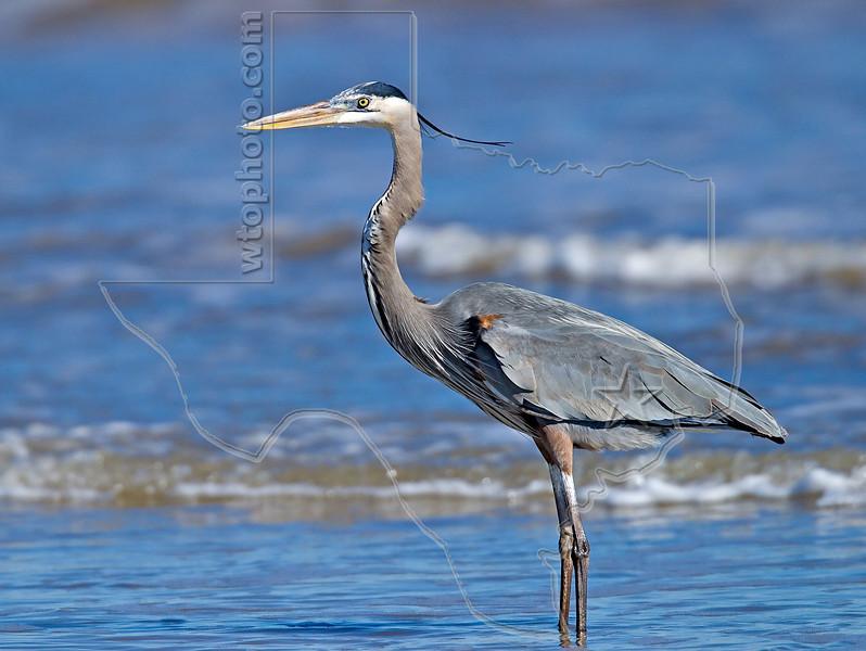 Great Blue Heron,<br /> Padre Island National Seashore, Texas
