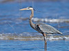 Great Blue Heron,<br /> Padre Island National Seashore, Texas
