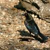 bronzed cowbird, texas