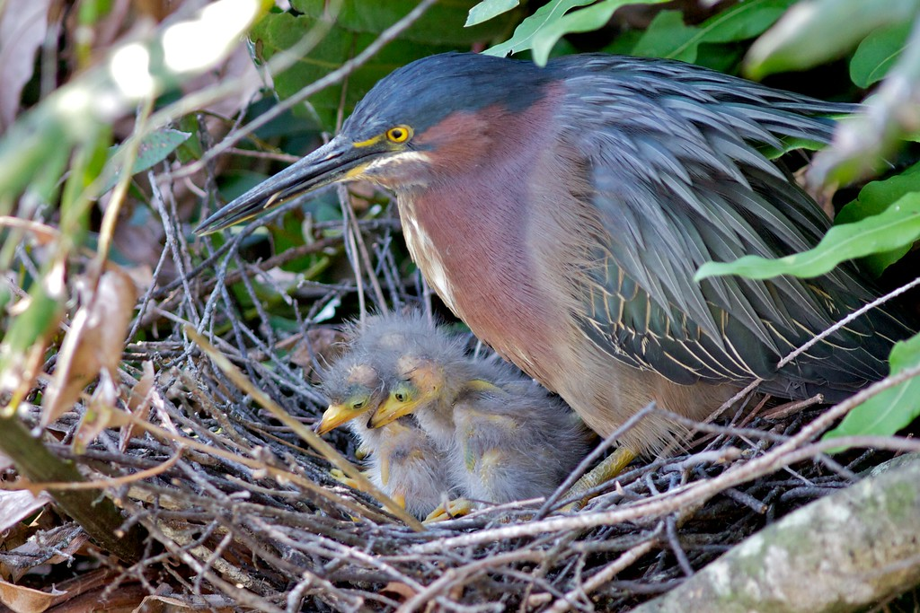 Little Green Heron and Chicks