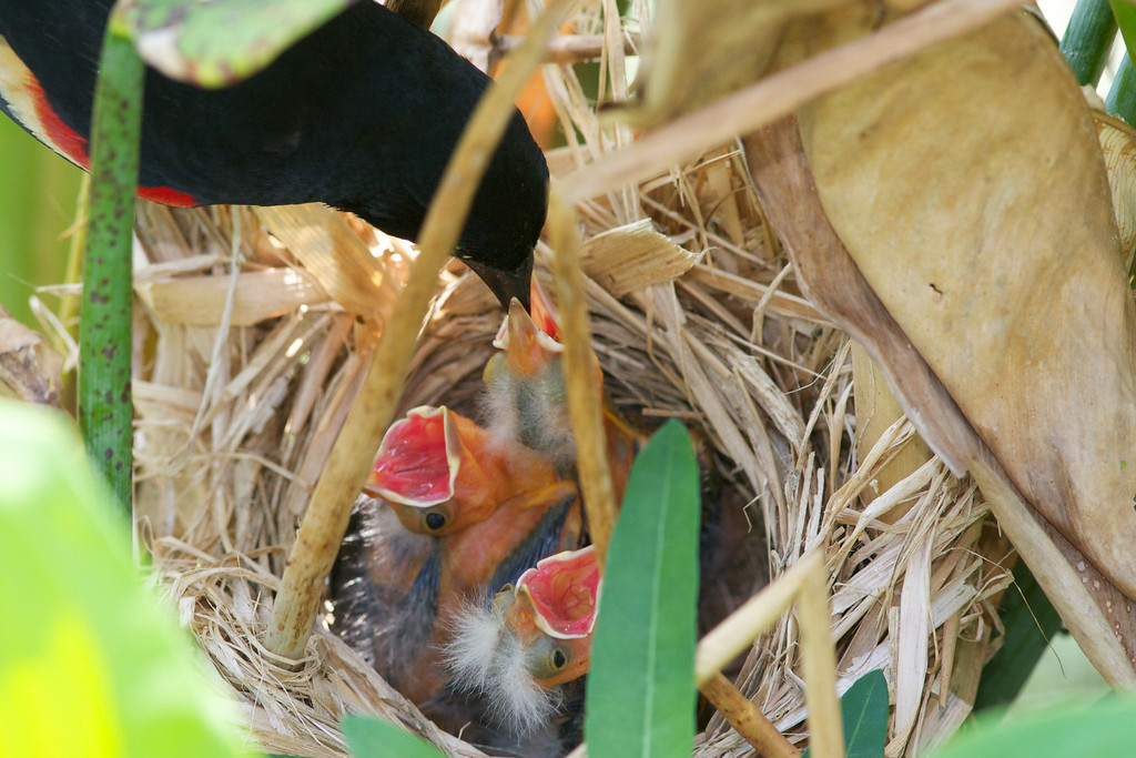 Male blackbird feeding chicks