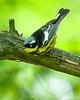 Magnolia Warbler<br /> Magnolia Warbler Presque Isle State Park, PA