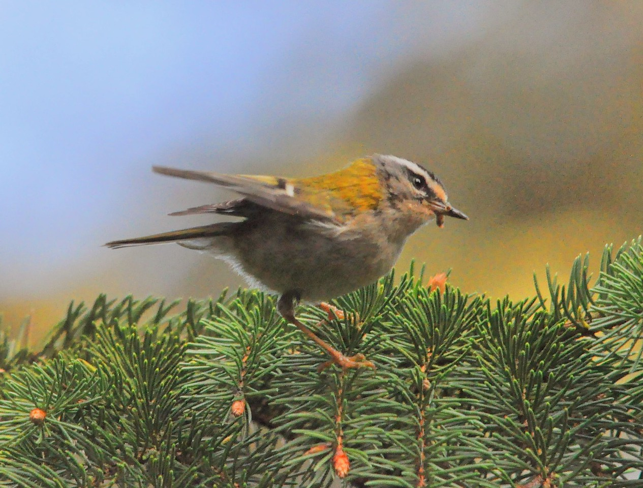 Firecrest, Wendover Woods Hale Lane May 2012