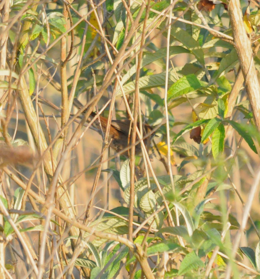 Cettis Warbler, Radipole May 2012