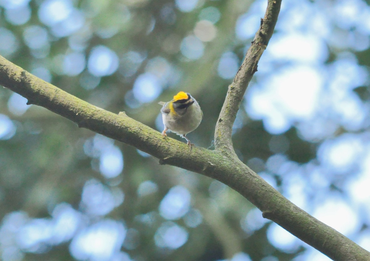 Firecrest, Cliveden, May 2012
