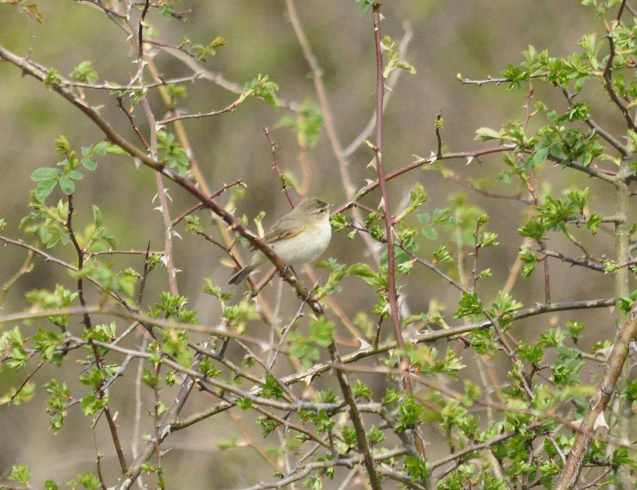 Chiff chaff Ivinghoe May 2012