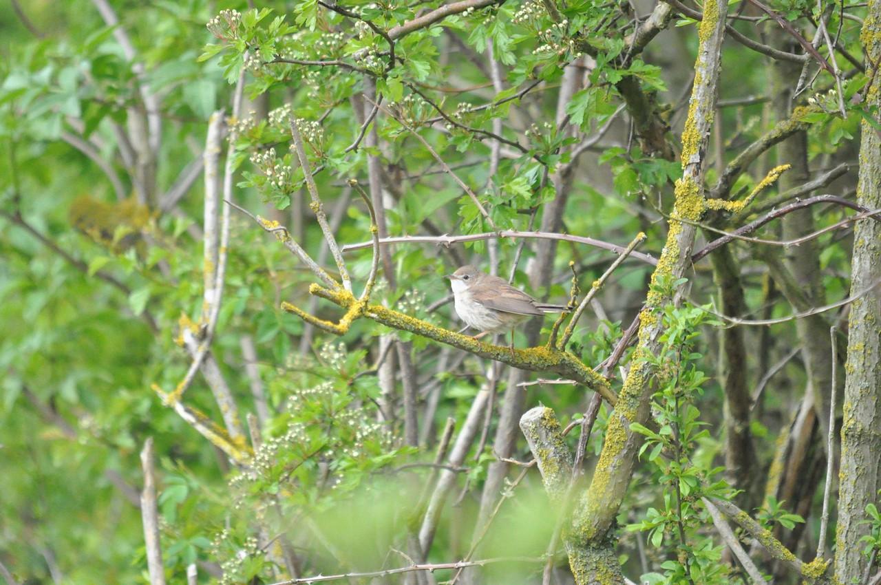 Cettis Warbler, Lodmoor , 2012