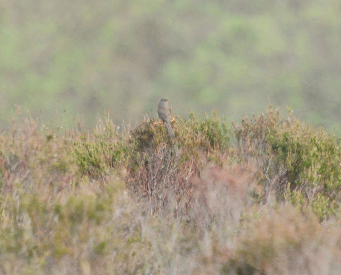 Dartford Warbler Shatterford, New Forest May 2012