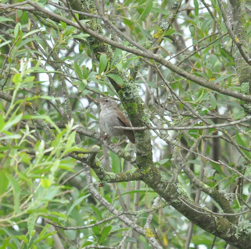 Cettis Warbler, Lodmoor 2012