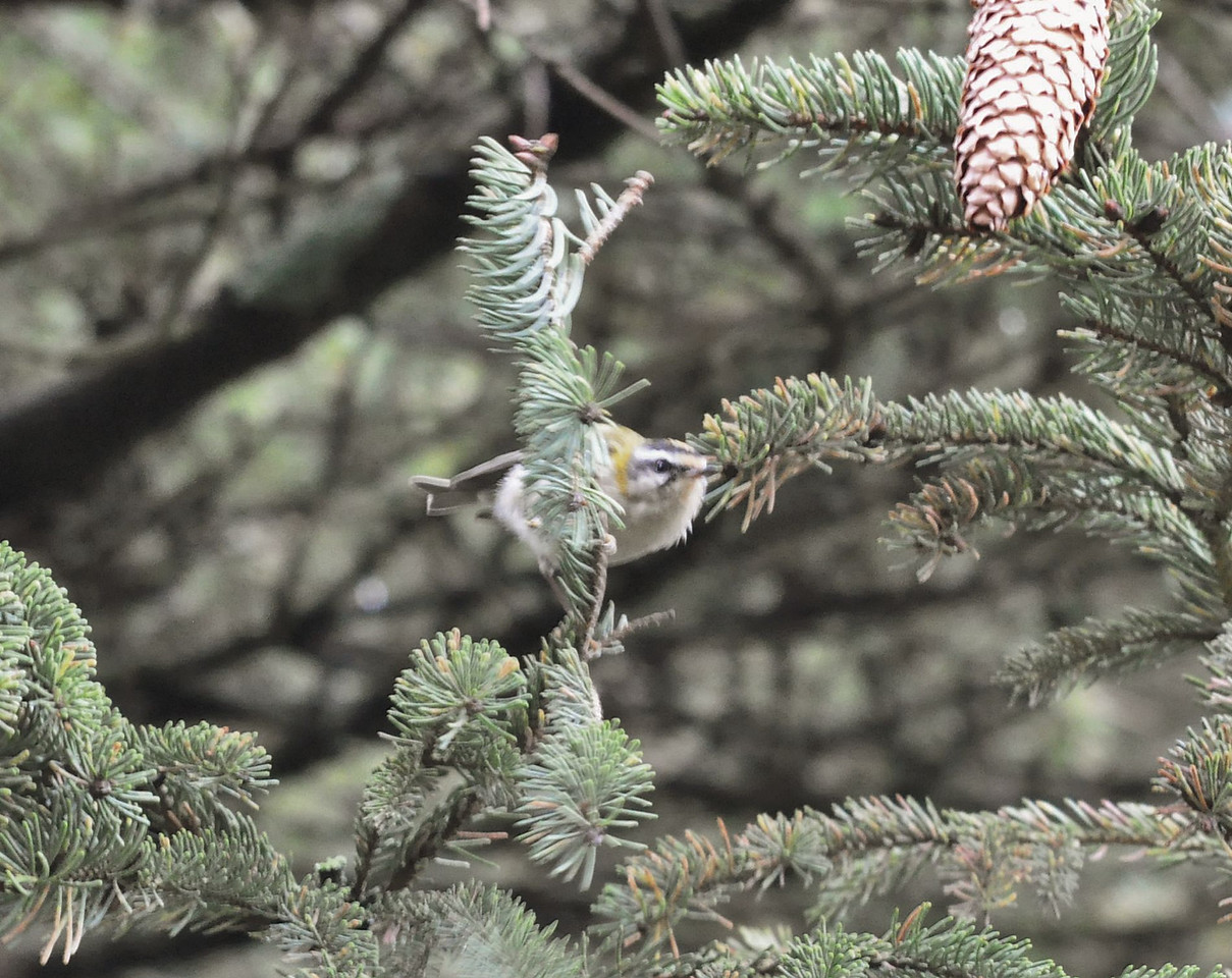 Firecrest Wendover May 2012