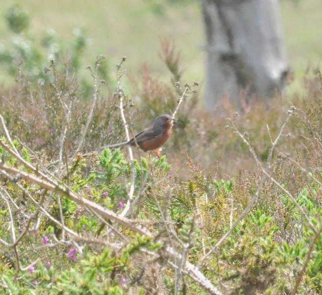 Dartford Warbler, Canford Heath, June 2012