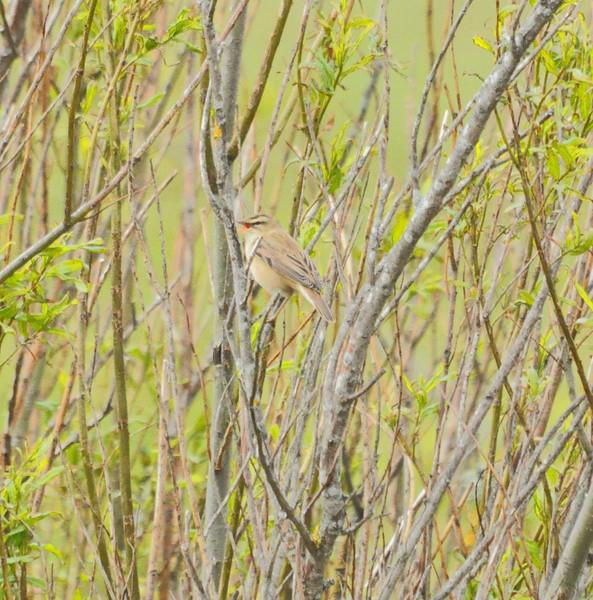 Grasshopper Warbler, Marsworth