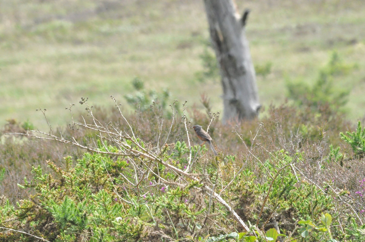 Dartford Warbler, Canvey Heath 2012