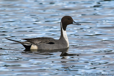 Northern Pintail Anas acuta